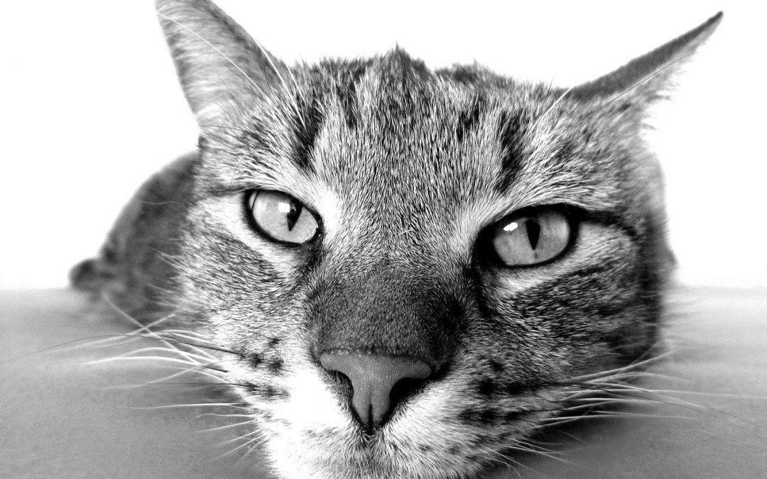 Leucemia em gatos: como identificar e tratar a doença?